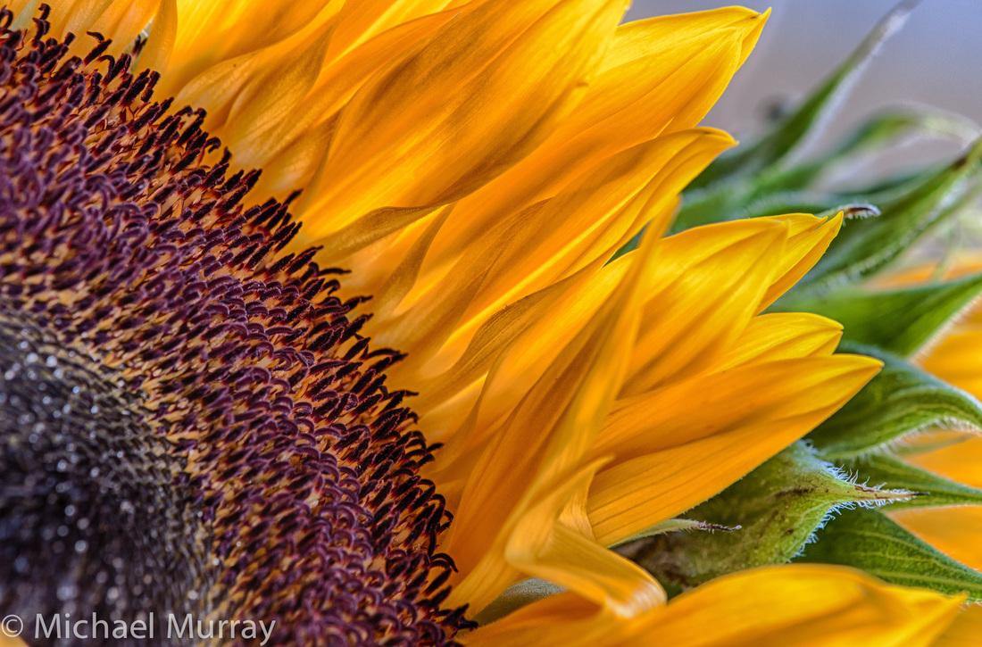 Sunflower Prints Murray Photographics Inc