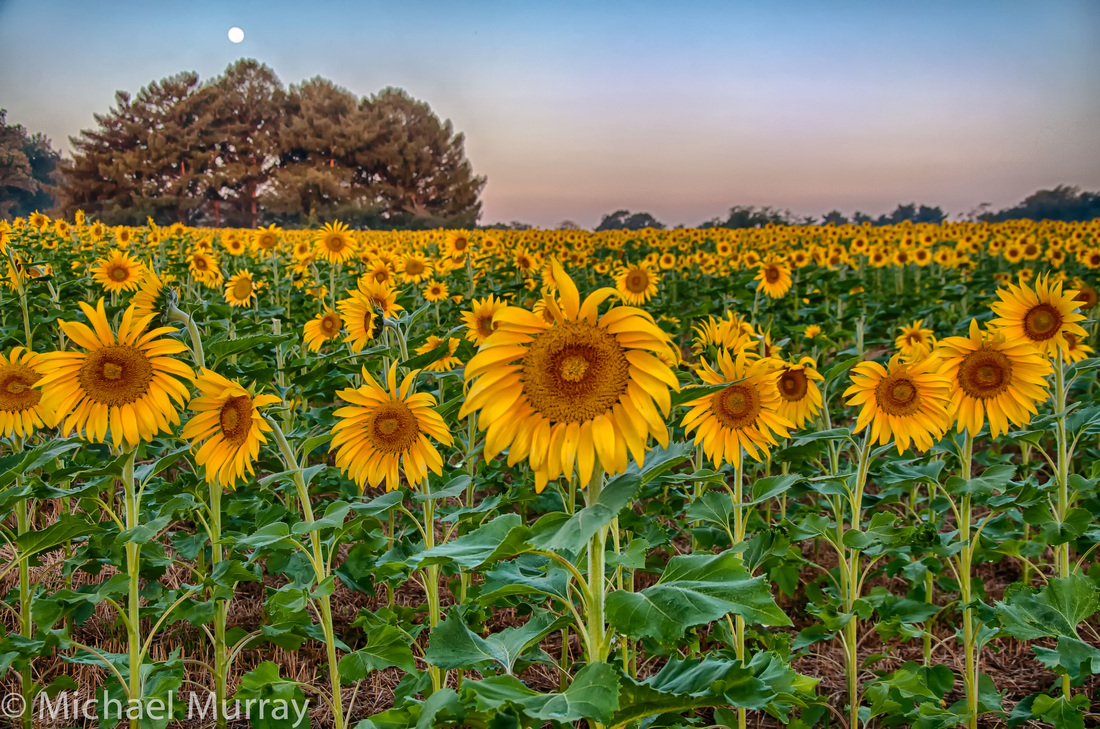 Sunflower Prints Murray Photographics Inc